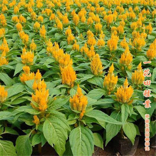 宿州灵璧县 鸡冠花种子矮羽鸡冠花种子新种子包邮