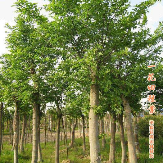 宿州灵璧县 朴树种种子小叶朴树种子沙朴种子包邮朴树新种子包邮
