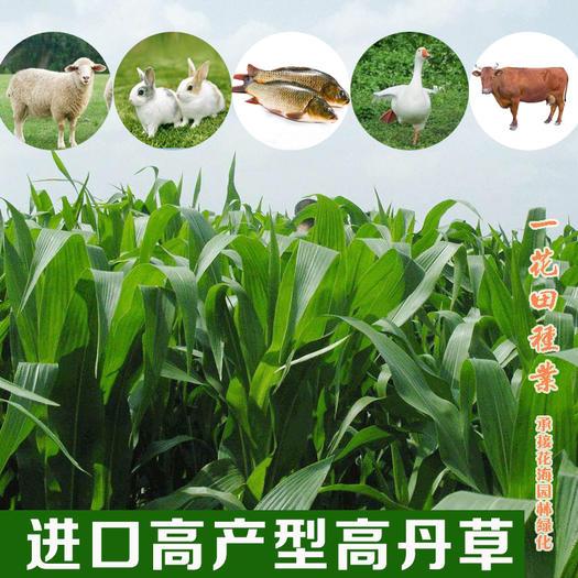 宿州灵璧县 进口高丹草种子进口高丹草新种子包邮高产型高丹草
