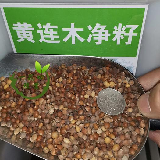 宿州灵璧县 黄连木种子黄连木新种子包邮黄连木净籽种子