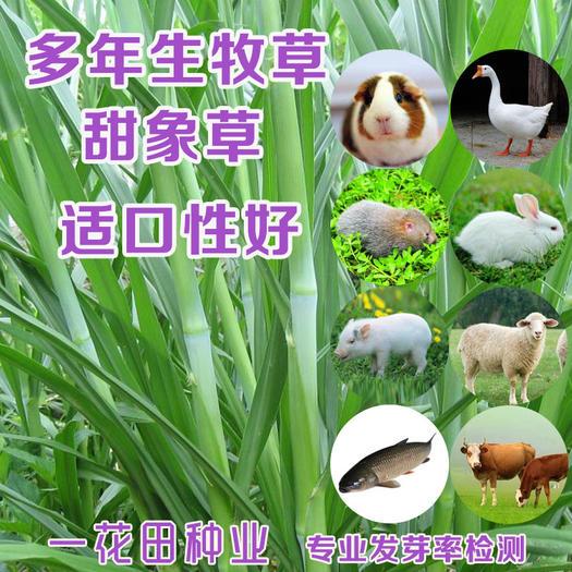 宿州灵璧县 甜象草种子台湾甜象草种子高产型甜象草种子