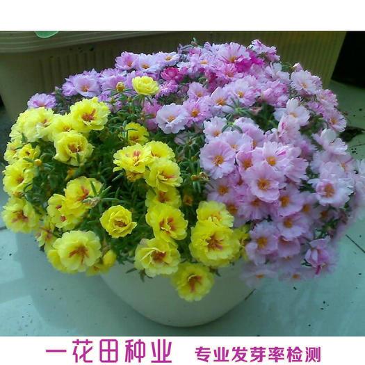宿州灵璧县 太阳花种子单瓣太阳花种子重瓣太阳花种子包邮太阳花新种子包邮
