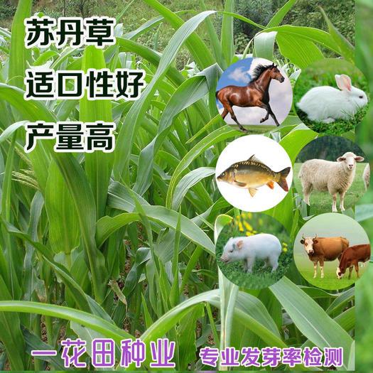 宿州灵璧县 苏丹草种子包邮苏丹草新种子包邮高产苏丹草种子