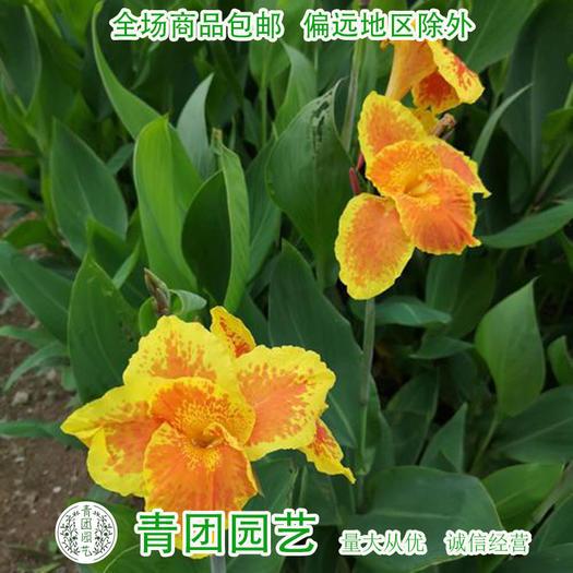 宿迁沭阳县 美人蕉种子包邮