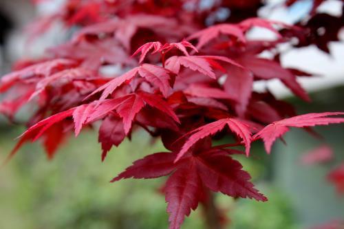 宿州灵璧县五角枫种子 红枫种子红枫新种子