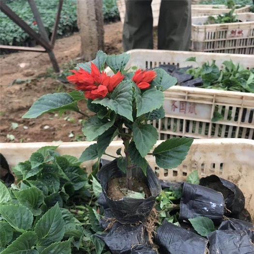青州市 一串紅杯苗 一串紅種子基地租擺花卉