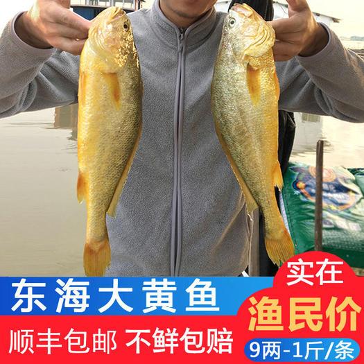 寧德霞浦縣 5條包郵 鮮活速凍黃花魚 大黃魚 多倉發貨 一件代發