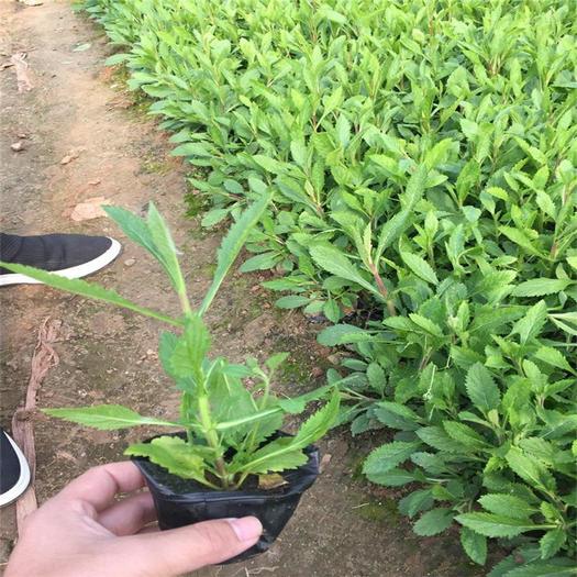潍坊青州市 多年生草本植物柳叶马鞭草杯苗 宿根花卉基地量大从优马鞭草种子