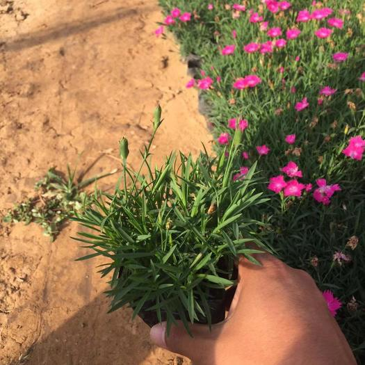 青州市 歐石竹自產自銷  600萬歐石竹基地直銷