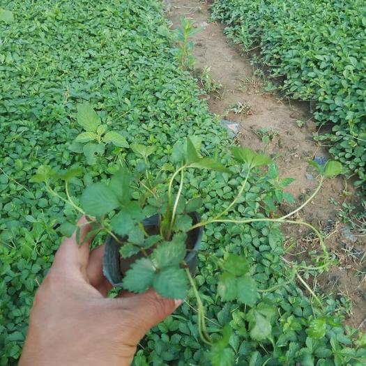 青州市蛇莓 射莓自产自销  200万射莓基地自产