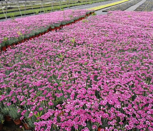 青州市 彩虹石竹  自產自銷 彩虹石竹種植基地