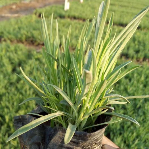 青州市 常夏石竹自產自銷 100萬常夏石竹基地直銷