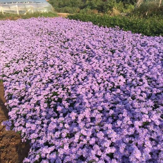 濰坊青州市 紫菀自產自銷  紫菀基地直銷