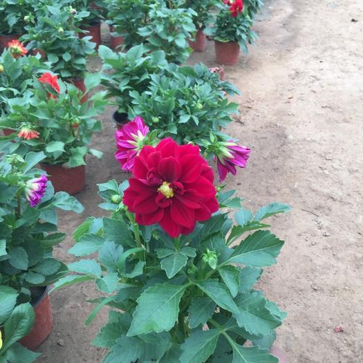 潍坊青州市小丽花种子 小丽花自产自销  小丽花种植基地