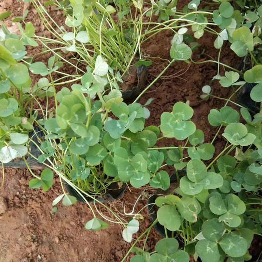 潍坊青州市三叶草种子 三叶草种植基地   三叶草自产自销