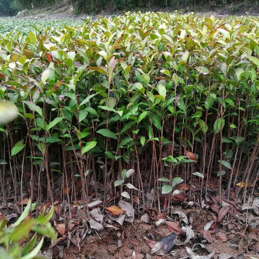 安吉县安吉白茶树苗 安吉白茶苗 自产自销 一手货源