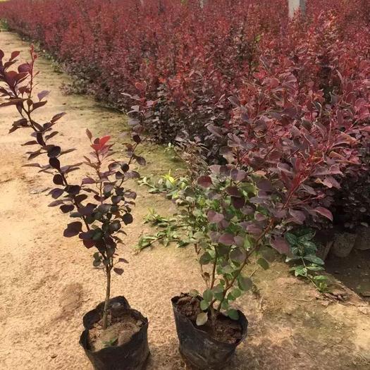 青州市 紅葉小檗基地最顯著  營養缽紅葉小檗基地