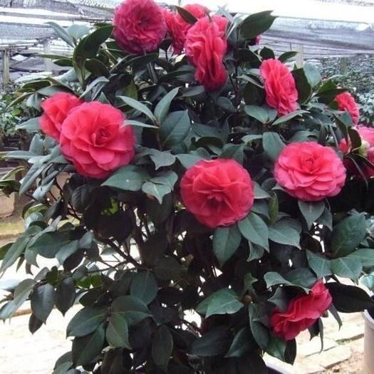 临沂平邑县 精品茶花苗 四季开花 品种齐全 带苞发货