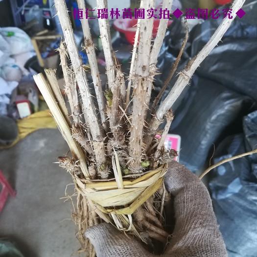 本溪桓仁满族自治县刺老芽苗 哪有乌龙头苗,出售乌龙头树苗