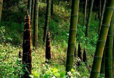 杭州蕭山區 新一批精品大型大楠竹到貨