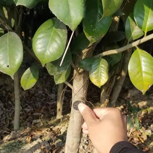 金華 2-5公分紅露珍茶花價格 紅露珍茶花