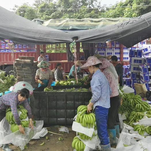 琼中黎族苗族自治县 300亩果园直发 海南香蕉
