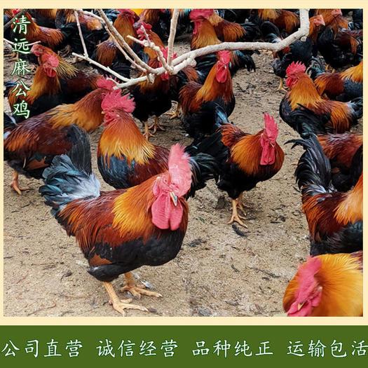 广州 清远麻鸡苗-草原红公鸡苗-二号麻公苗-质量可靠,运输包*