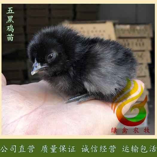 广州白云区 纯种五黑鸡苗-改良型高产绿壳蛋鸡苗-绿壳鸡苗活体包运输