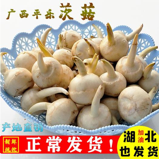 桂林平乐县慈菇 茨菇/慈姑 广西平乐一手货源 专业一件代发