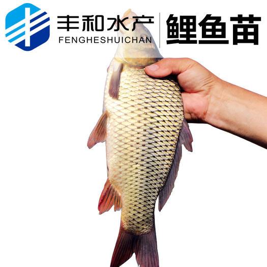 佛山南海区鲤鱼苗 【低价供应】大量出售优质 放生鱼 淡水鱼活体