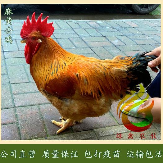 广州白云区 麻黄鸡苗-K9麻黄鸡苗-882红麻鸡苗-公司直营-值得信赖