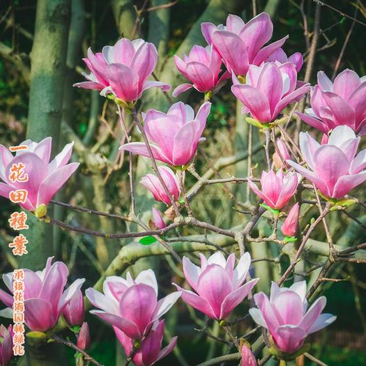 宿州灵璧县 优质紫玉兰种子优质白玉兰种子