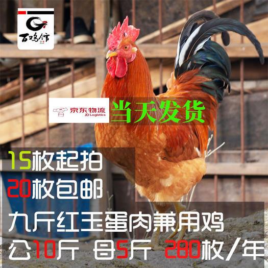 成都青白江區九斤黃雞種蛋 九斤黃種蛋可孵化紅玉380九斤紅青腳麻三黃雞苗種苗