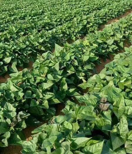 鄧州市紅薯葉 地瓜苗