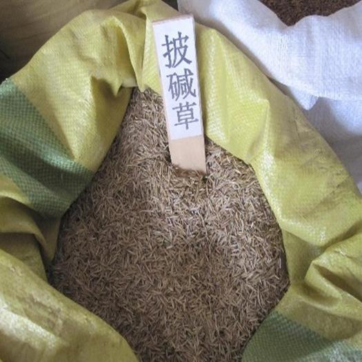 固原隆德县 护坡草种子,优质批碱草种子