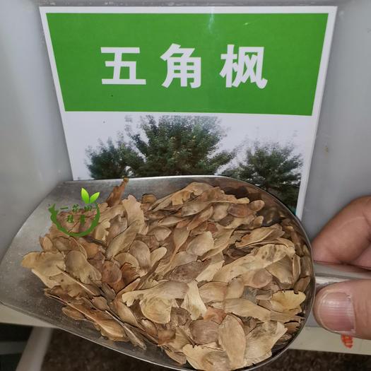 宿州灵璧县 五角枫种子五角枫新种子包邮