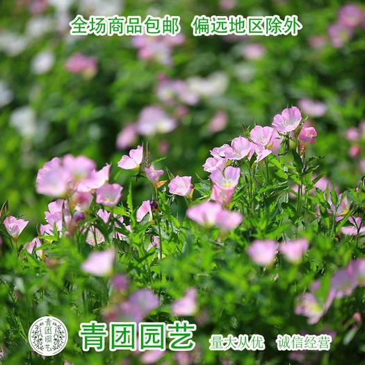 沭阳县 月见草种子新种子包邮