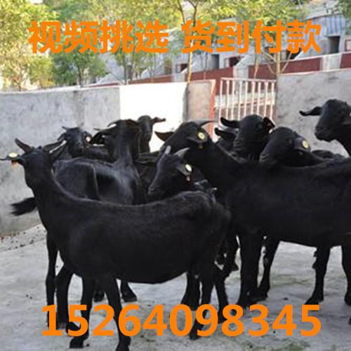 濟南平陰縣 純種努比亞黑山羊
