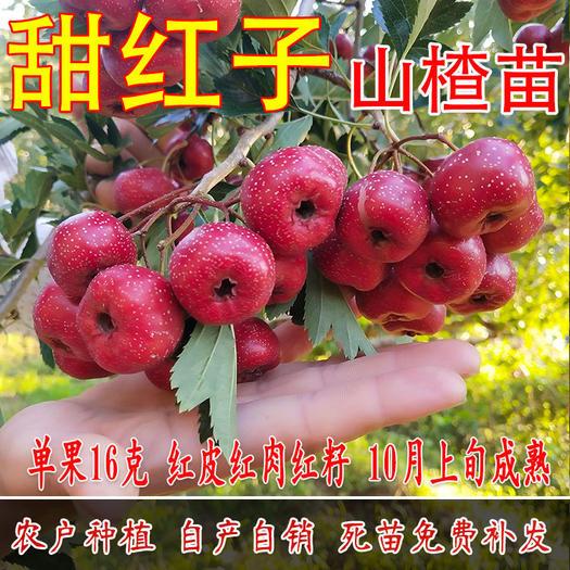 临沂平邑县 山楂树苗嫁接甜红子南方北方种植盆栽地栽当年结果包邮