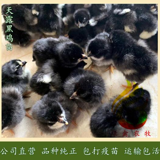 广州白云区 黑鸡苗-天露黑五鸡苗-紫凤鸡苗-快大黑鸡苗-90天6斤