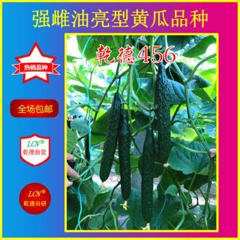 油亮密刺黄瓜种子 乾德456,油亮高产黄瓜品种,秋延越冬早春栽培