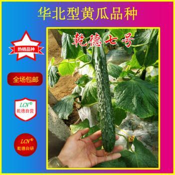 乾德系列黄瓜种子 乾德七号,越夏黄瓜好品种