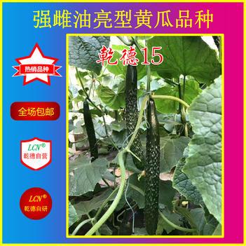乾德系列黄瓜种子 乾德15,秋延越冬早春品种,油亮高产抗病