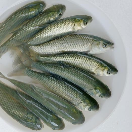 鹤山市池塘草鱼 本鱼苗养殖场,长期供应优质淡水鱼苗养殖、放生。