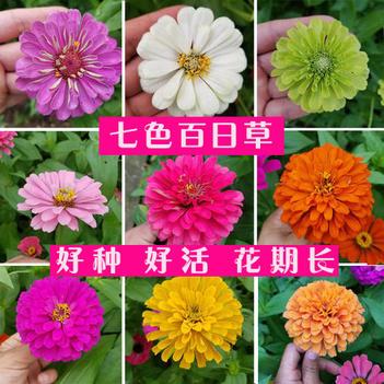 百日草种子百日菊新种子百日草种子包邮花期长提供种植技术