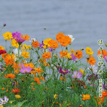 野花组合种子野花组合新种子包邮花海道路公园专用