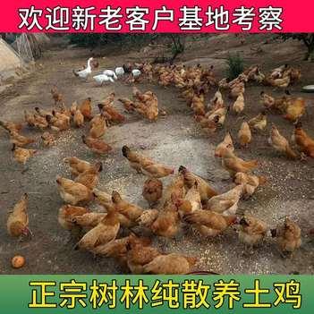 全国批发正宗纯树林散养老母鸡土鸡果园纯粮食喂养一只3斤左右