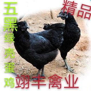 五黑鸡苗  五黑绿壳蛋鸡,厂家直销一手货源,疫苗齐全。