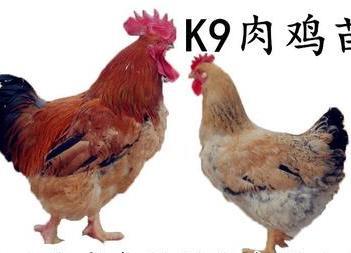 K9鸡苗  k9,882,快大黄肉鸡品种,厂家直销,疫苗齐全。