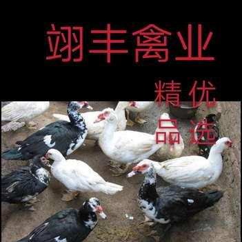 番鸭苗  温氏大种黑白番鸭,大厂出品,疫苗齐全